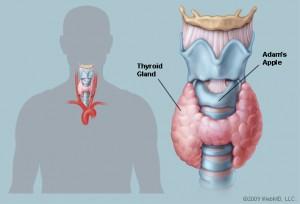 thyroidgland_